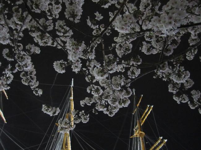 0003_日本丸と桜.JPG