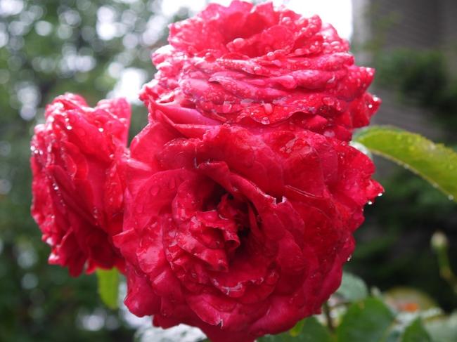 0005_鮮やかなバラの赤色.JPG