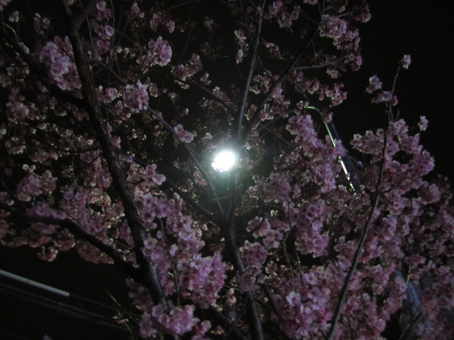 0006_新桜丘の桜.JPG