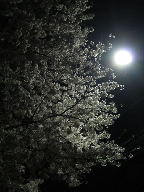 0312_街路灯と桜.JPG