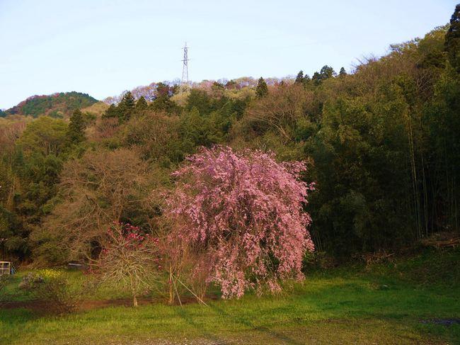 0557_枝垂れ桜.JPG