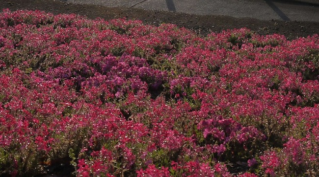 0611_朝日と芝桜.JPG