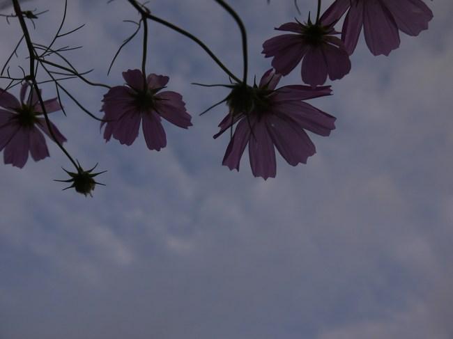 0612_宮ケ瀬の登りのコスモス.JPG
