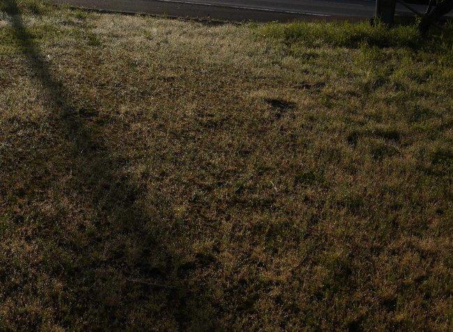 0612_朝日に濡れる芝の新芽.JPG