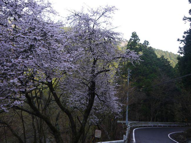 0704_裏ヤビツの桜.JPG