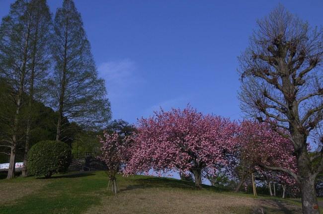 0709_津久井湖の八重桜.JPG