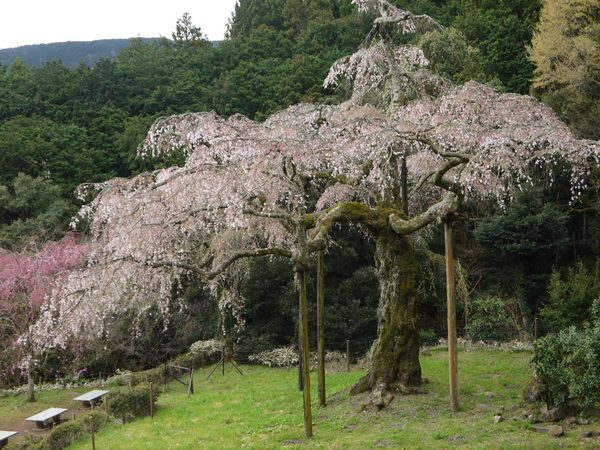 0741_小田原長興山しだれ桜.JPG