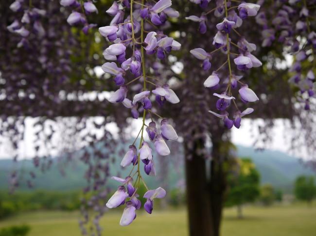 0748_宮が瀬の藤の花.JPG