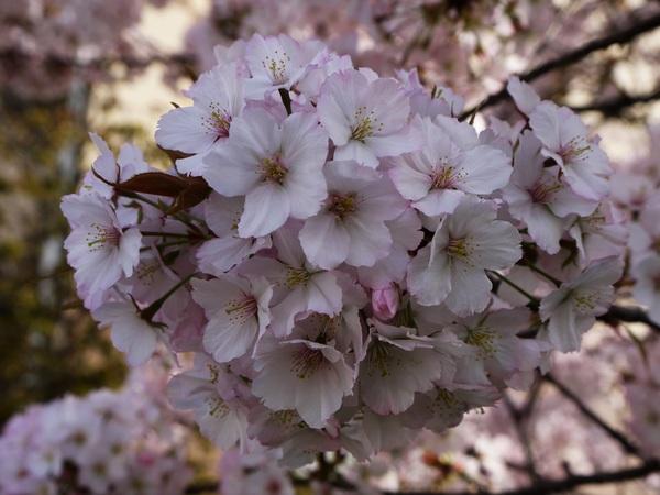 0758_桜のアップ.JPG