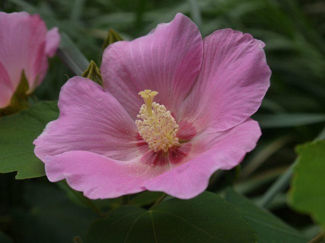 0828_ムクゲの花.JPG