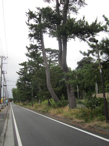 0840_国道1号線らしい松並木.JPG