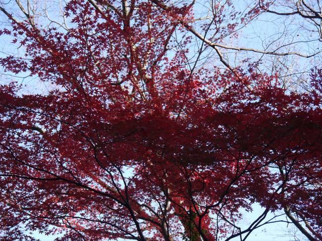 0854_紅葉のモミジ.JPG