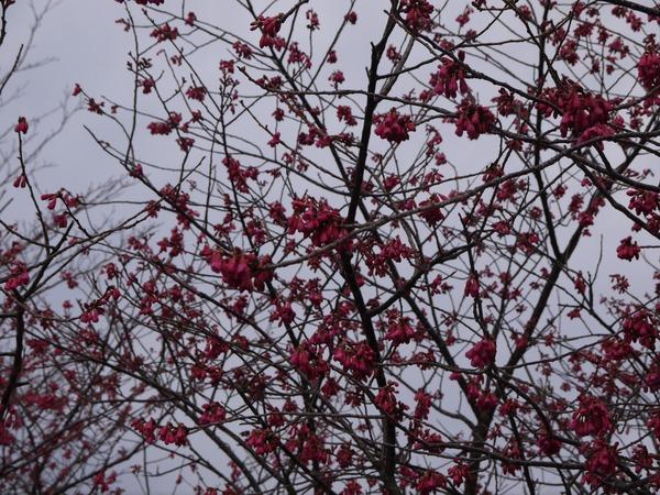 0915_菜の花台の梅.JPG