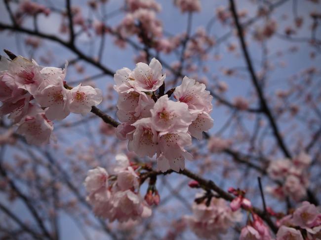 0942_早咲きの桜.JPG