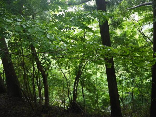1044_ブナの原生林.JPG
