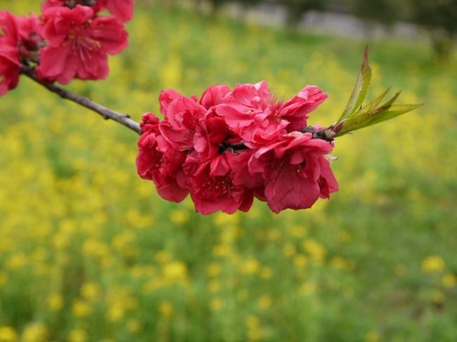 1050_菜の花.JPG