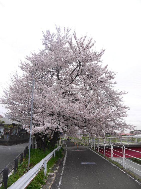 1110_桜のトンネル.JPG