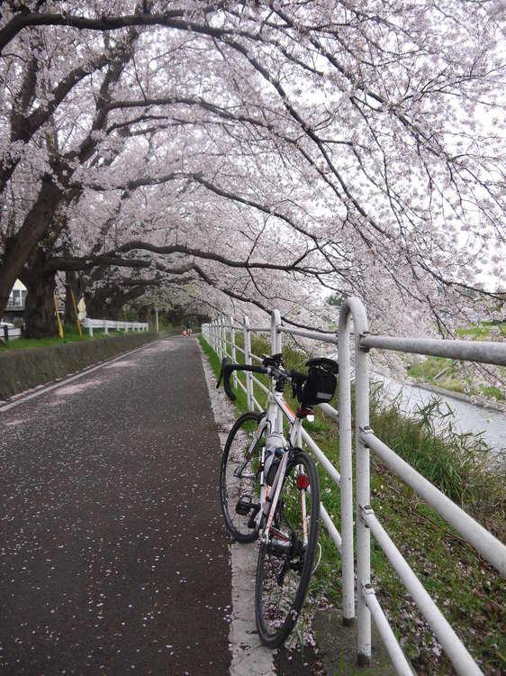 1111_境川の桜並木.JPG