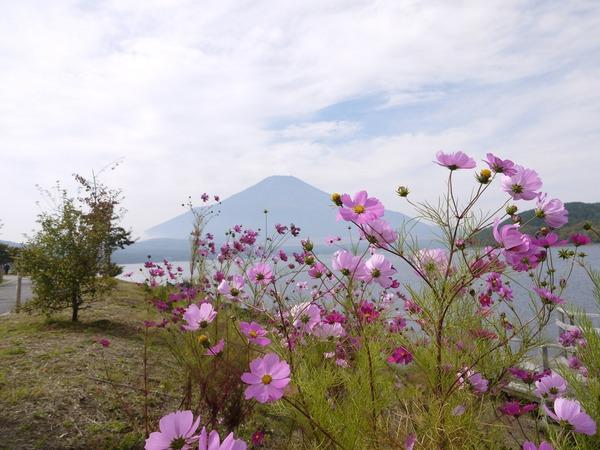 1112_コスモスと富士山.JPG
