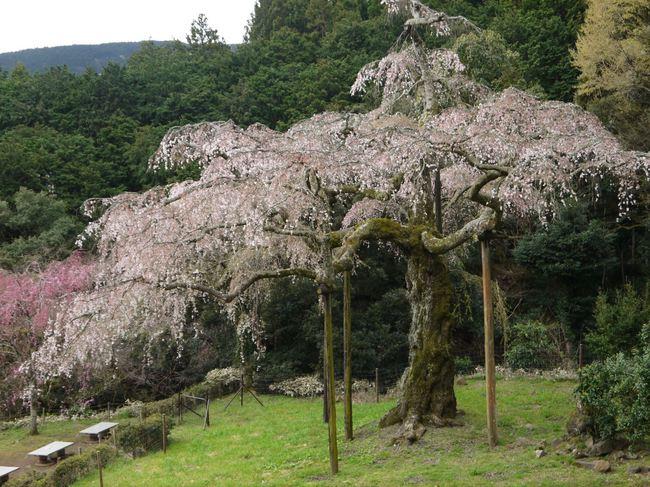 20140405_8部咲のしだれ桜.JPG