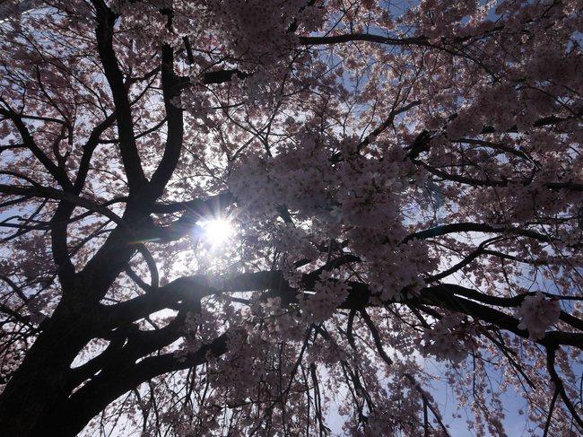20150328_1031_しだれ桜_S.JPG