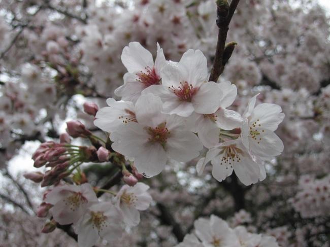 20170408_満開の桜.JPG