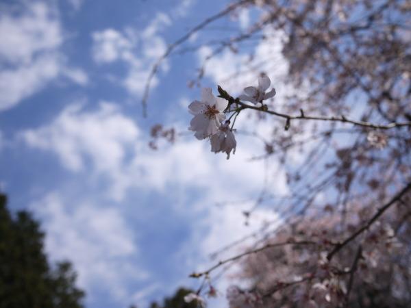 しだれ桜と青空.JPG