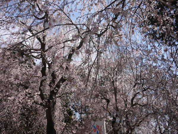 しだれ桜_10.JPG
