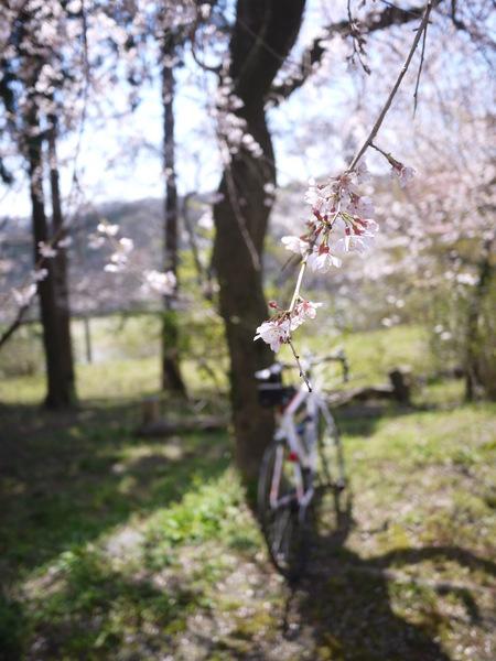 しだれ桜_2.JPG
