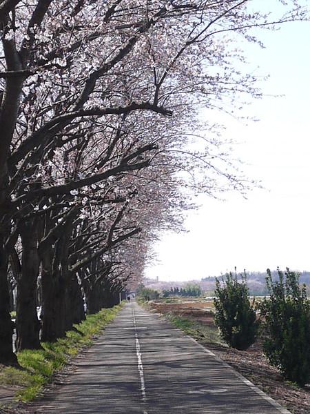 海軍道路桜並木.JPG