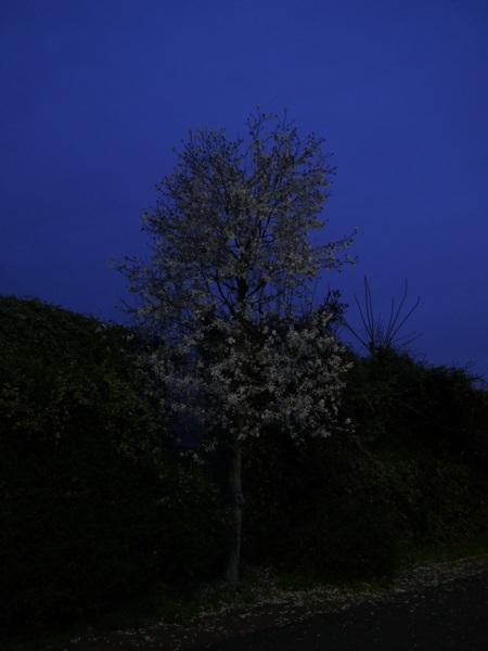 薄明の桜.JPG